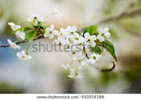 Beautiful flowering branch of apple tree. Background with blooming flowers in spring day. Selective focus and bokeh.
