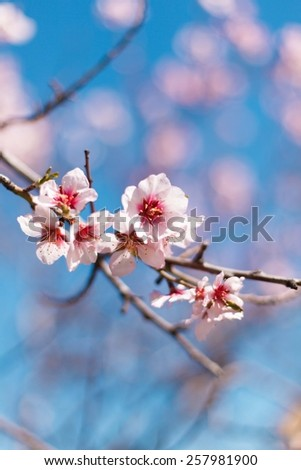 Beautiful flowering japanese cherry -Sakura. Blurred spring blue background. Background with flowers on  a spring day - stock photo