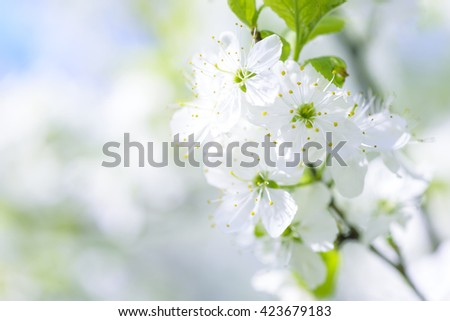 Beautiful flowering plum trees. Background with blooming flowers in spring day.