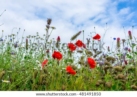 Beautiful flowering Spring Meadow with white clouds and blue sky background.