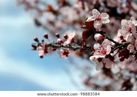 beautiful flowering tree against the bright blue sky - stock photo