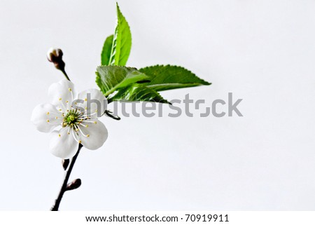 Beautiful flowers blooming cherry on a blue background - stock photo