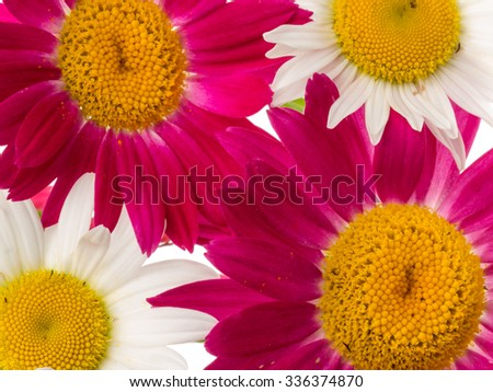beautiful flowers delicate purple and white with a yellow center romashkek on a white background isolated - stock photo