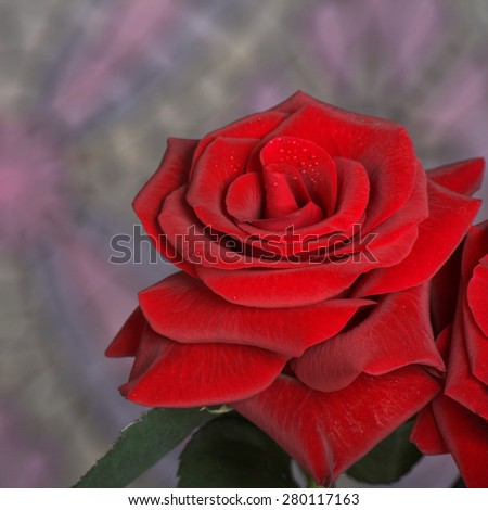 Beautiful flowers. Fresh red roses with drops of dew.