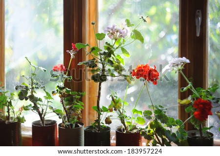 Beautiful flowers in colored geranium pots on wooden window in bright sun rays in retro style - stock photo