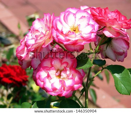 beautiful flowers in garden blossoms white pink roses - stock photo
