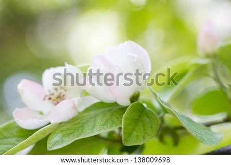 beautiful flowers in nature quince - stock photo