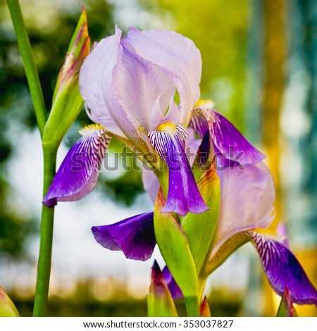Beautiful flowers irises. Selective focus