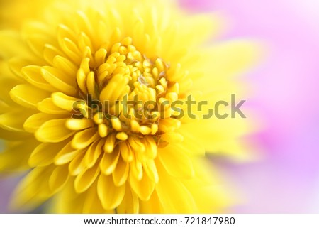 Beautiful flowers macro abstract art background with a soft focus. Yellow  flowers chrysanthemum in nature on lilac background.