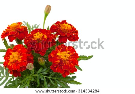 Beautiful flowers marigolds, closeup and blank place for your text, isolated on white background. - stock photo