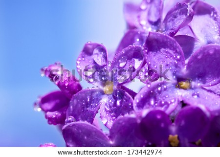 beautiful flowers of a lilac blossom in the spring - stock photo