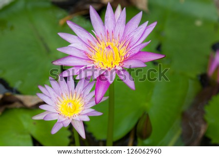 Beautiful flowers of a lotus - stock photo