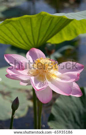 Beautiful flowers of a lotus (Nelumbo komarovii, Nelumbo nucifera) - stock photo