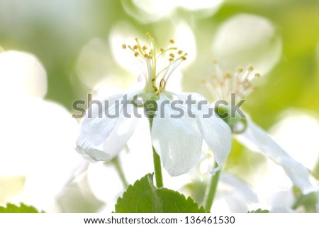 beautiful flowers of apple trees. macro