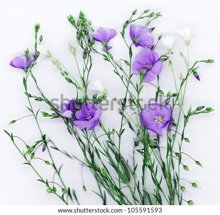 Beautiful flowers of flax on white background