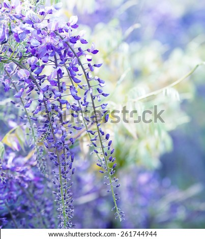 Beautiful flowers of fuji (Wisteria floribunda) vine, blooming in spring. Intentionally shot shallow depth of field and dreamy feel. - stock photo