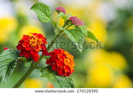Beautiful flowers of lantana - stock photo