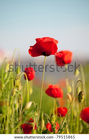 Beautiful flowers of red poppy on a blurred background - stock photo