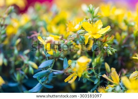 Beautiful flowers of St. John's wort. Wild flowers growing on meadow or fields. St. John's wort is herb used in alternative medicine or homeopathy