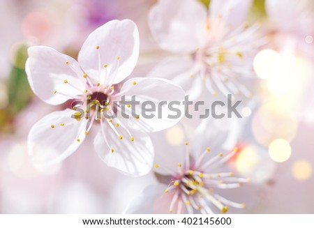 Beautiful flowers of the blossoming cherry tree in the spring time/Cherry blossom