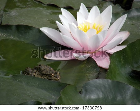Beautiful flowers of water lilies.