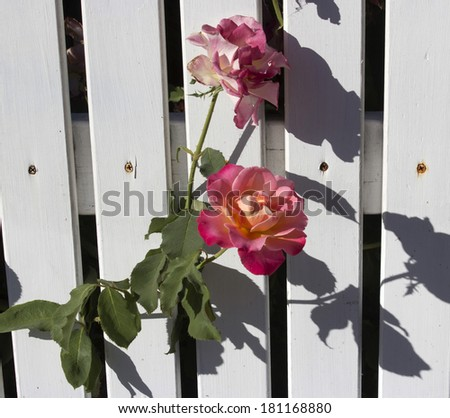 Beautiful flowers of  yellow and pink roses peeping through a white painted wooden picket fence add fragrant  charm to an urban street in late summer. - stock photo