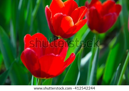 beautiful flowers,red flowers,red tulips - stock photo