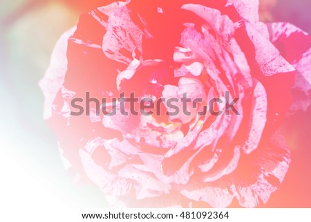 Beautiful flowers soft color blurred background,Close up beautiful carnation pink rose in a garden