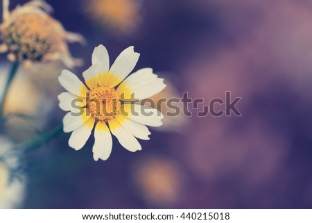 Beautiful flowers with white petals and yellow heart on blurred background - stock photo