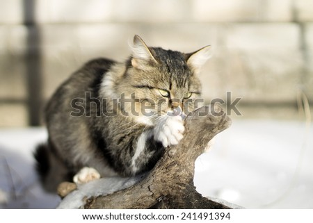 beautiful fluffy cat in winter and nature - stock photo