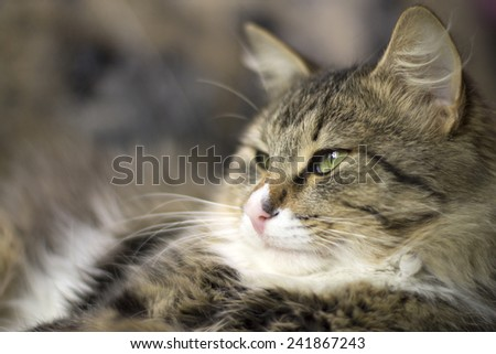 beautiful fluffy cat is sleepy