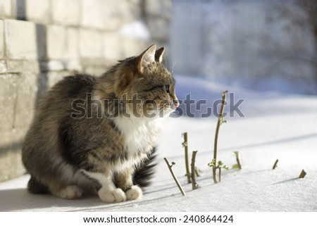 beautiful fluffy cat sitting on the snow in the winter - stock photo