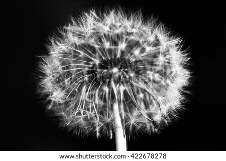 Beautiful fluffy Dandelion seeds.  Blow ball of dandelion flower isolated on black background. - stock photo