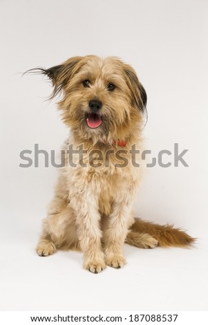 Beautiful, fluffy dog on white background