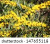 Beautiful  fluffy  fragrant West Australian wattle acacia species  blooming in winter  adding color  and food for native bird species. - stock photo