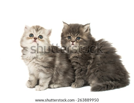 beautiful fluffy kittens on a white background