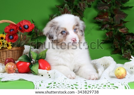 Beautiful fluffy puppy Australian Shepherd with apples on a green background