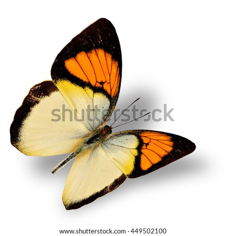 Beautiful flying bright orange butterfly, yellow orange tip butterfly in fancy color transparency with soft shadow beneath - stock photo