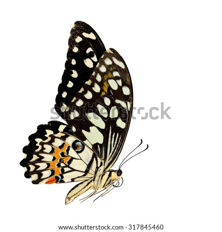Beautiful flying Common Lime Butterfly or Lemon Butterfly (Papilio demoleus) with very nice wings span and shadow reflection on white background - stock photo