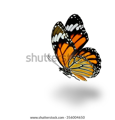 Beautiful flying Common Tiger butterfly (Danaus genutia) with fully wingspan and soft shadow beneath on white background - stock photo