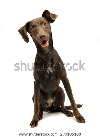 beautiful flying ears mixed breed dog listen in white studio - stock photo