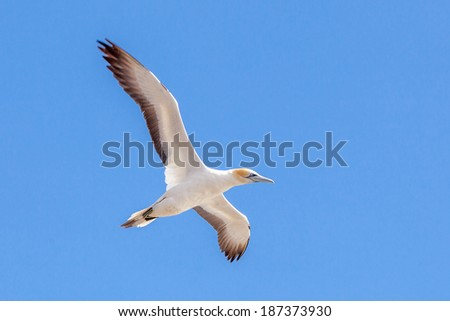 Beautiful Flying Gannet at Muriwai Beach, Auckland, New Zealand - stock photo