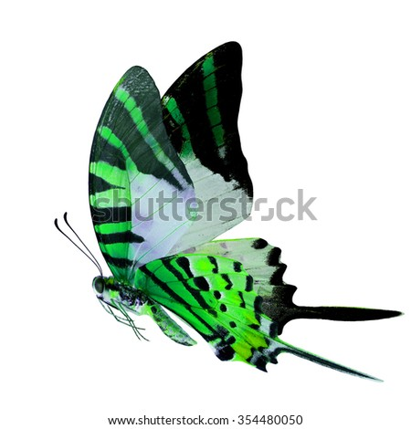 Beautiful flying green butterfly with  long knife tails isolated on white background