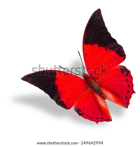 Beautiful flying red and black wing tip butterfly (Tawny Rajah) on white background with soft shadow - stock photo
