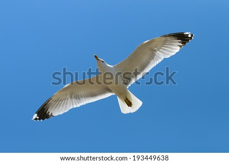 Beautiful flying seagull in the bright blue sky  - stock photo
