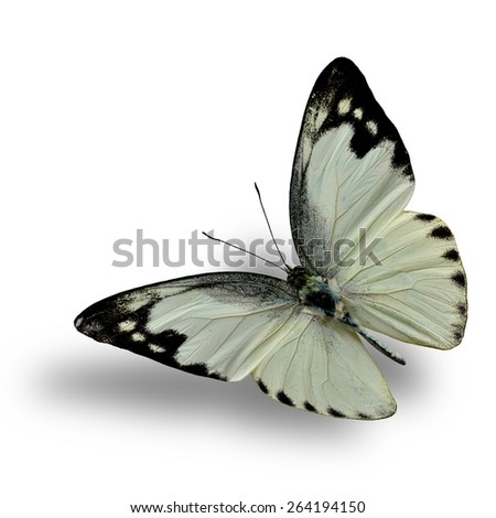 Beautiful Flying White Butterfly, Lesser Albatross isolated on white background with nice soft shadow beneath - stock photo