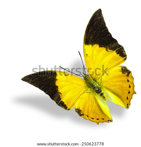 Beautiful flying yellow and black wing tip butterfly (Tawny Rajah) on white background with soft shadow - stock photo