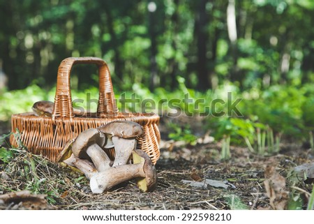 Beautiful forest white mushrooms freshly picked and lie next to the wicker basket on the ground in a sunny warm forest - stock photo