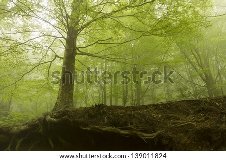 Beautiful forest with fog between trees