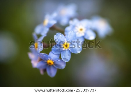 Beautiful forget-me-not Spring flowers with shallow depth of field